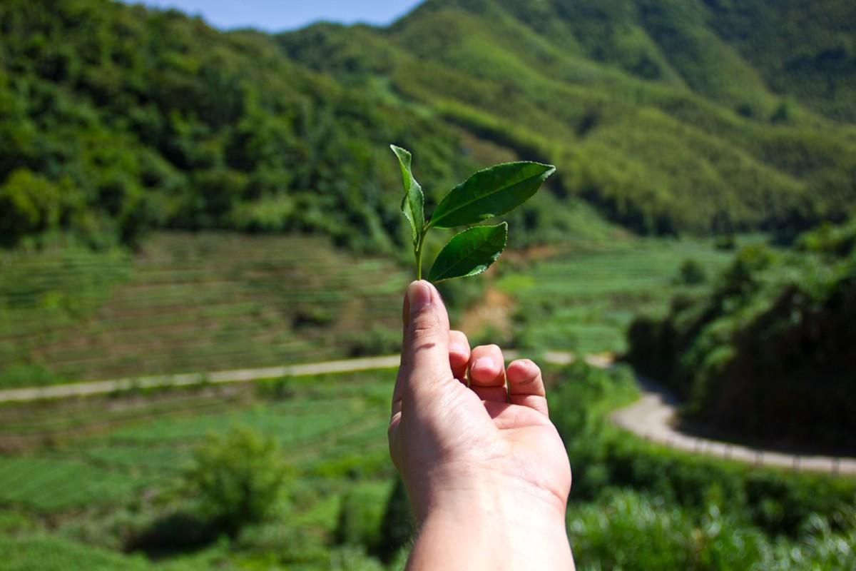 Плантации чая Те Гуань Инь