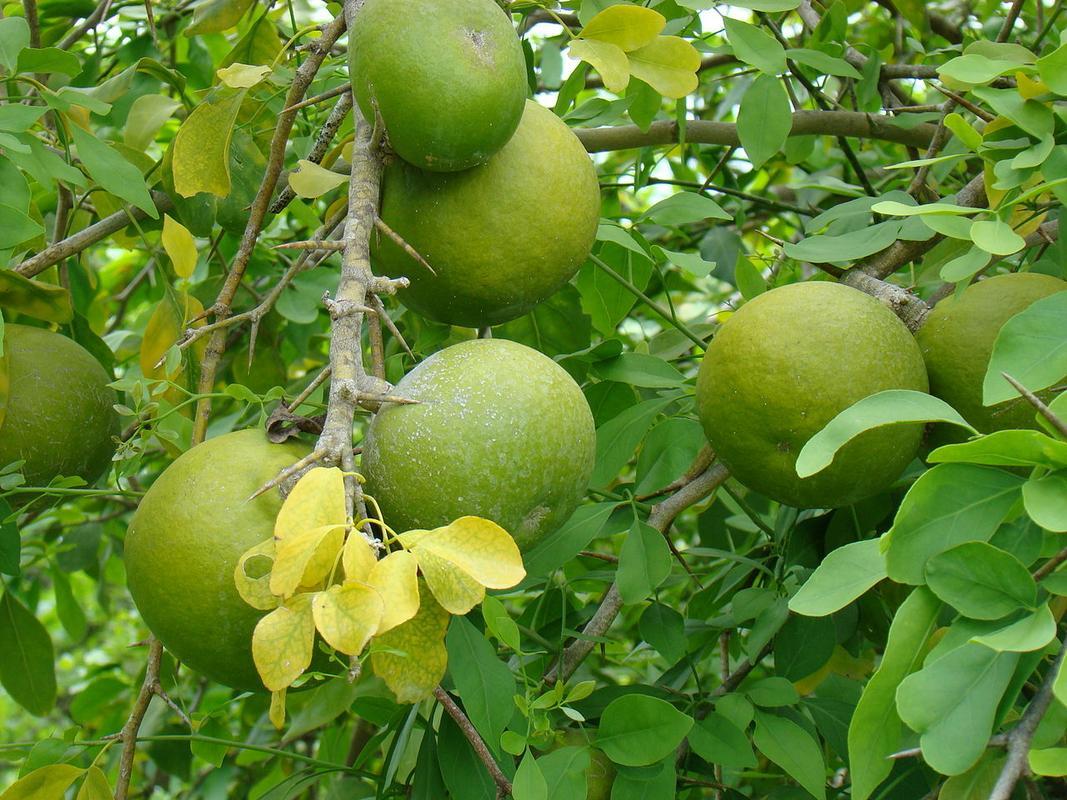 Как растет фрукт