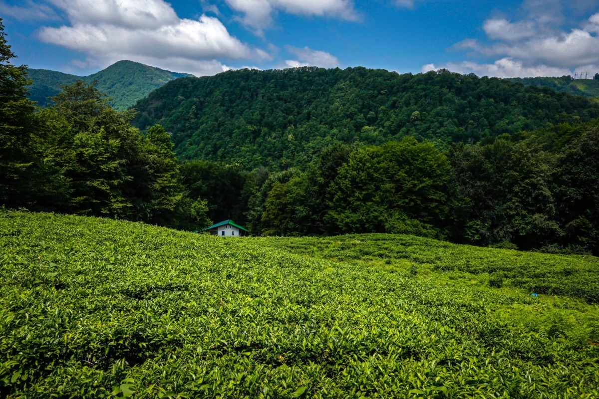 Чайные плантации в лазоревском