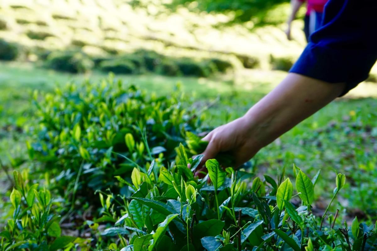 Чайные листочки хоста чая