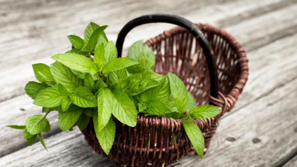 Ближе к соцветию листики более нежны и ароматичны