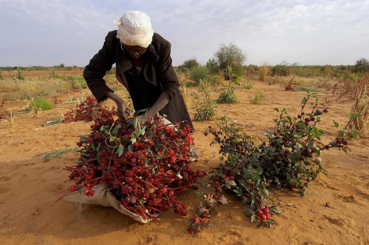 Процесс производства чая каркаде заключается в высушивании соцветий и околочаший растения с последующим измельчением