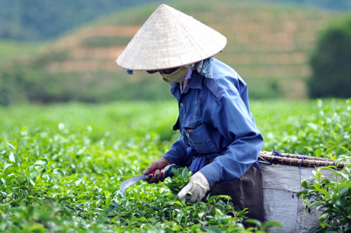 Элитные сорта чая собираются исключительно вручную