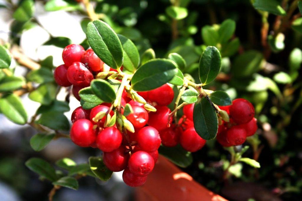 Бадан-чай с брусникой снимает воспаление, тонизирует и налаживает метаболизм