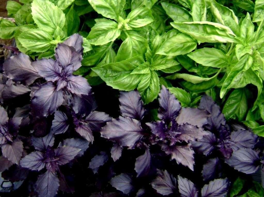 Для приготовления чая с базиликом подойдут, как свежие, так и высушенные растения