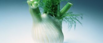 Фенхель - цветущее растение семейства морковных